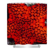 Red Starfish In Raja Ampat, Indonesia Shower Curtain