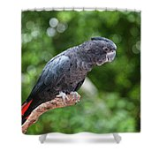 Red-tailed Black-cockatoo Shower Curtain