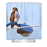 Red-tailed Hawk Perched Shower Curtain