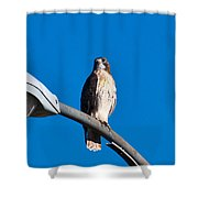Red-tailed Hawk Surveying Territory Shower Curtain