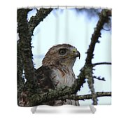 Red-tailed Hawk - Young And The Old Shower Curtain