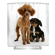 Red Toy Poodle And Cavalier King Shower Curtain