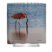 Reddish Egret Checking It Out Shower Curtain
