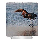 Reddish Egret Doing A Forging Dance Shower Curtain