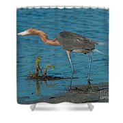 Reddish Egret Hunting Shower Curtain