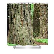 Redwood Trees Art Prints Big California Redwoods Shower Curtain
