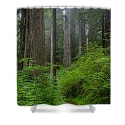 Redwoods Along Ossagon Trail Shower Curtain