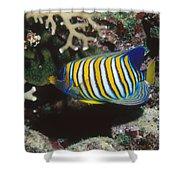 Regal Angelfish In Coral Reef Shower Curtain