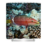 Ringtail Wrasse Shower Curtain