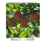 Ripe Fleshy Plums On The Branch Shower Curtain