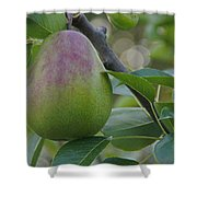 Ripening Pear In Tree Shower Curtain