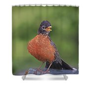 Robin In Distress Shower Curtain by Deborah Benoit