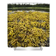 Rock Weed Fucus Gardneri At Low Tide Shower Curtain
