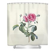 Rose Dutch Hundred Leaved Rose Shower Curtain