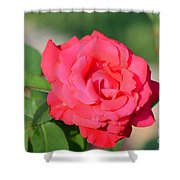 Rose In The Morninglight Shower Curtain