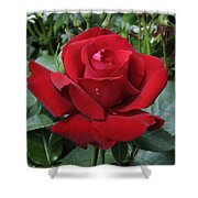 Rose Rosa Sp Ingrid Bergman Variety Shower Curtain