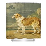Rough-coated Collie Shower Curtain