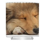 Rough Collie Pup Shower Curtain