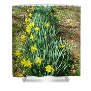 Row Of Daffodils Shower Curtain