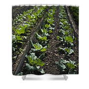 Rows Of Cabbage Shower Curtain