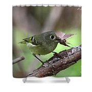Ruby-crowned Kinglet Nabs A Moth Shower Curtain