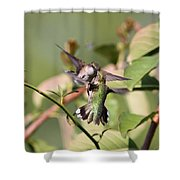 Ruby-throated Hummingbird - An Altercation Shower Curtain