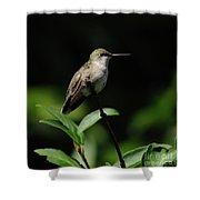 Ruby-throated Hummingbird Female Shower Curtain