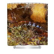 Saddled Blenny, Bonaire, Caribbean Shower Curtain
