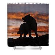 Samoyed At Sunset Shower Curtain