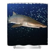 Sand Tiger Shark Off The Coast Of North Shower Curtain
