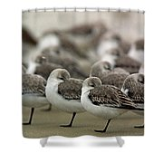 Sanderlings Try To Keep Warm At Corporation Beach In Dennis On C Shower Curtain