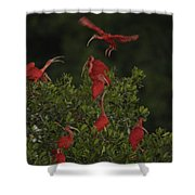 Scarlet Ibises Roost In A Red Mangrove Shower Curtain