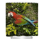 Scarlet Macaw Ara Macao Adult Perching Shower Curtain