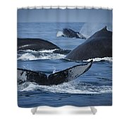 School Of Humpback Whales Shower Curtain