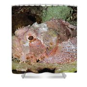 Scorpionfish, Indonesia Shower Curtain