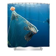 Scuba Diver Nets Invasive Indo-pacific Shower Curtain