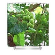 Sea Grape Sgwc Shower Curtain