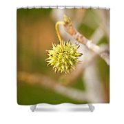 Seed Pod On Sycamore Tree Shower Curtain