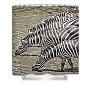 Several Thirsty Zebra Shower Curtain
