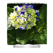 Shadowy Purple And White Emerging Hydrangea Shower Curtain