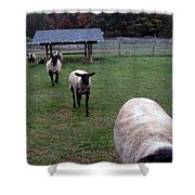 Sheep Feed Time Shower Curtain