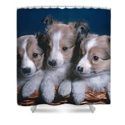 Sheltie Puppies Shower Curtain by Photo Researchers, Inc.