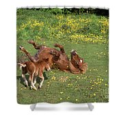 Shetland Pony And Foal Playing Shower Curtain