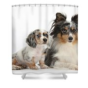 Shetland Sheepdog And Dachshund Puppy Shower Curtain