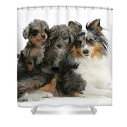 Shetland Sheepdog With Puppies Shower Curtain