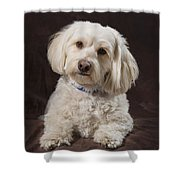 Shih Tzu-poodle On A Brown Muslin Shower Curtain