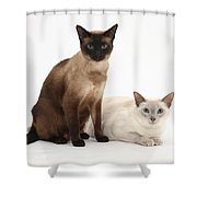 Siamese Cats Shower Curtain