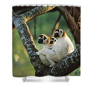Sifaka Propithecus Sp Family Resting Shower Curtain