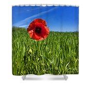 Single Poppy Flower  In A Field Of Wheat Shower Curtain