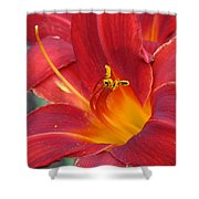 Single Red Lily 2 Shower Curtain